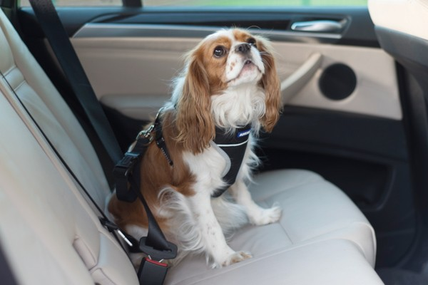 Clunk Click every Trip! Strap your pet in when travelling in your Car.