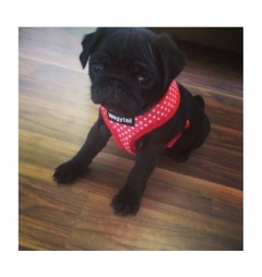 Wagytail Red Polka Dot Harness